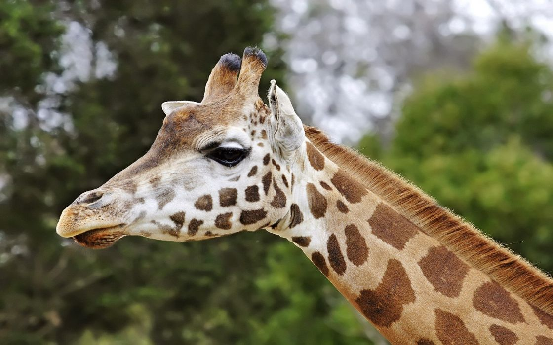 nature animals giraffes wallpaper