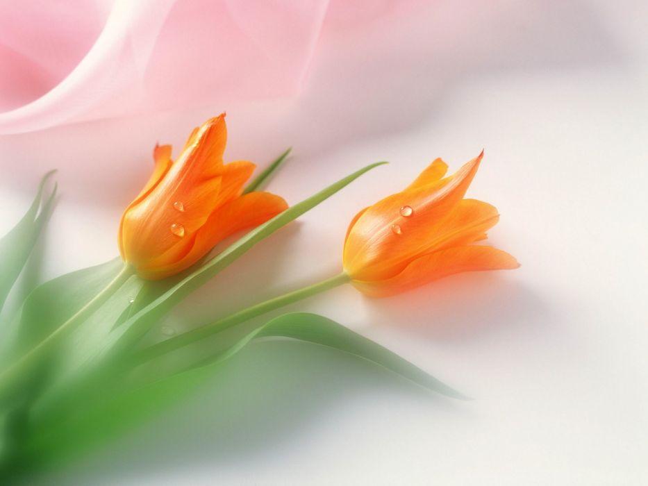 flowers tulips orange flowers wallpaper