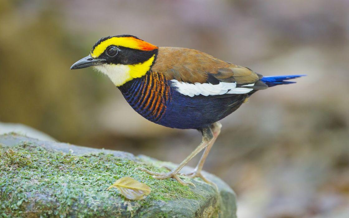 nature multicolor birds animals Pittas wallpaper