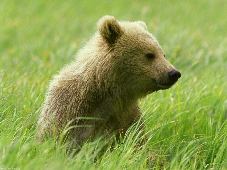 nature animals bears baby animals wallpaper