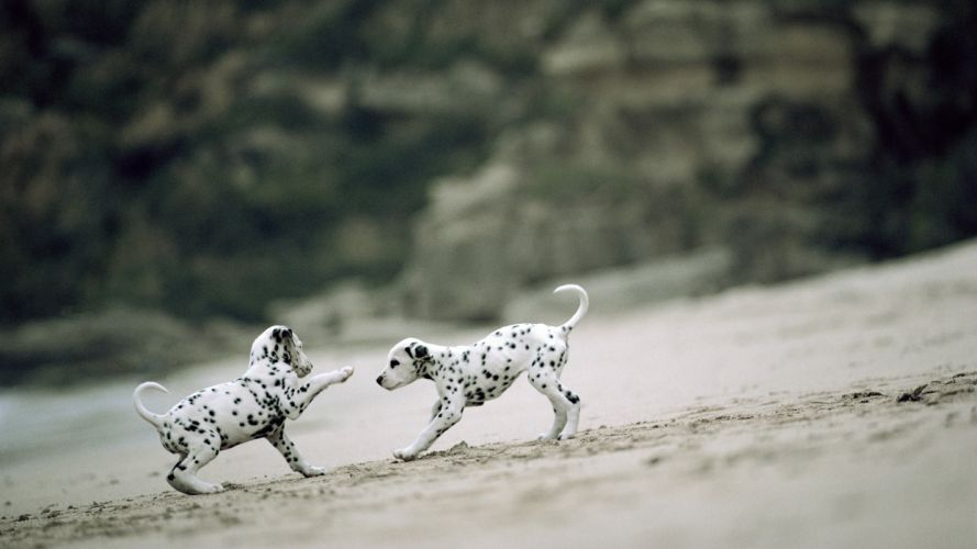 animals dogs puppies dalmatians playing beaches wallpaper