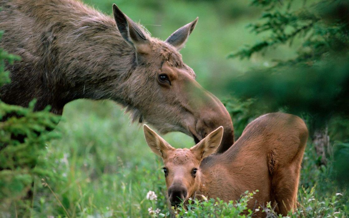 animals moose wallpaper