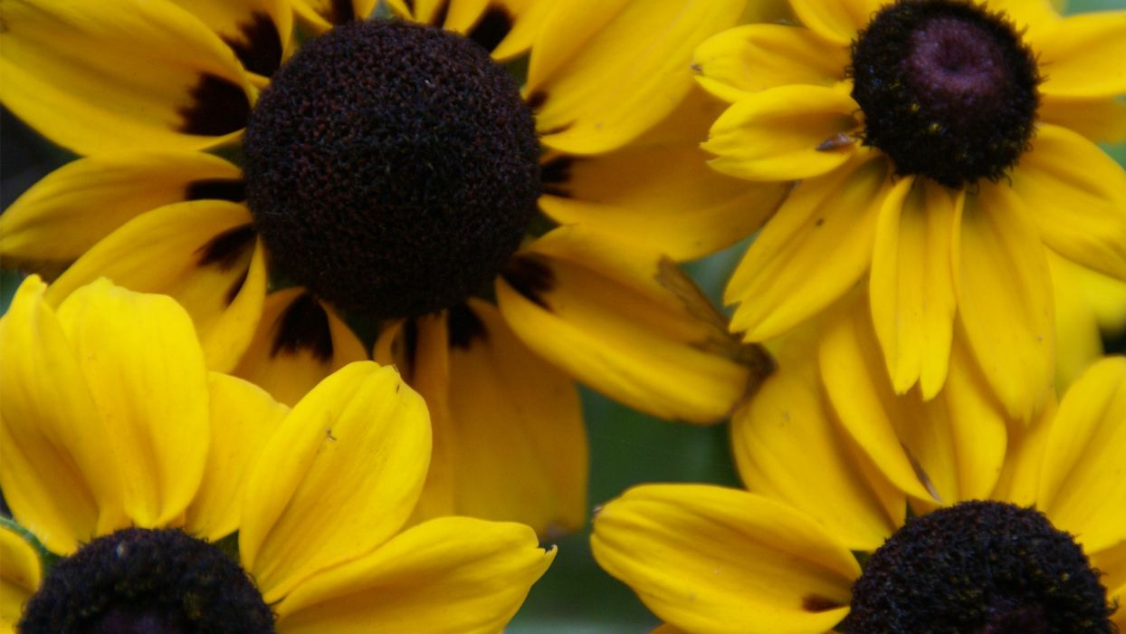 close-up nature sunflowers wallpaper