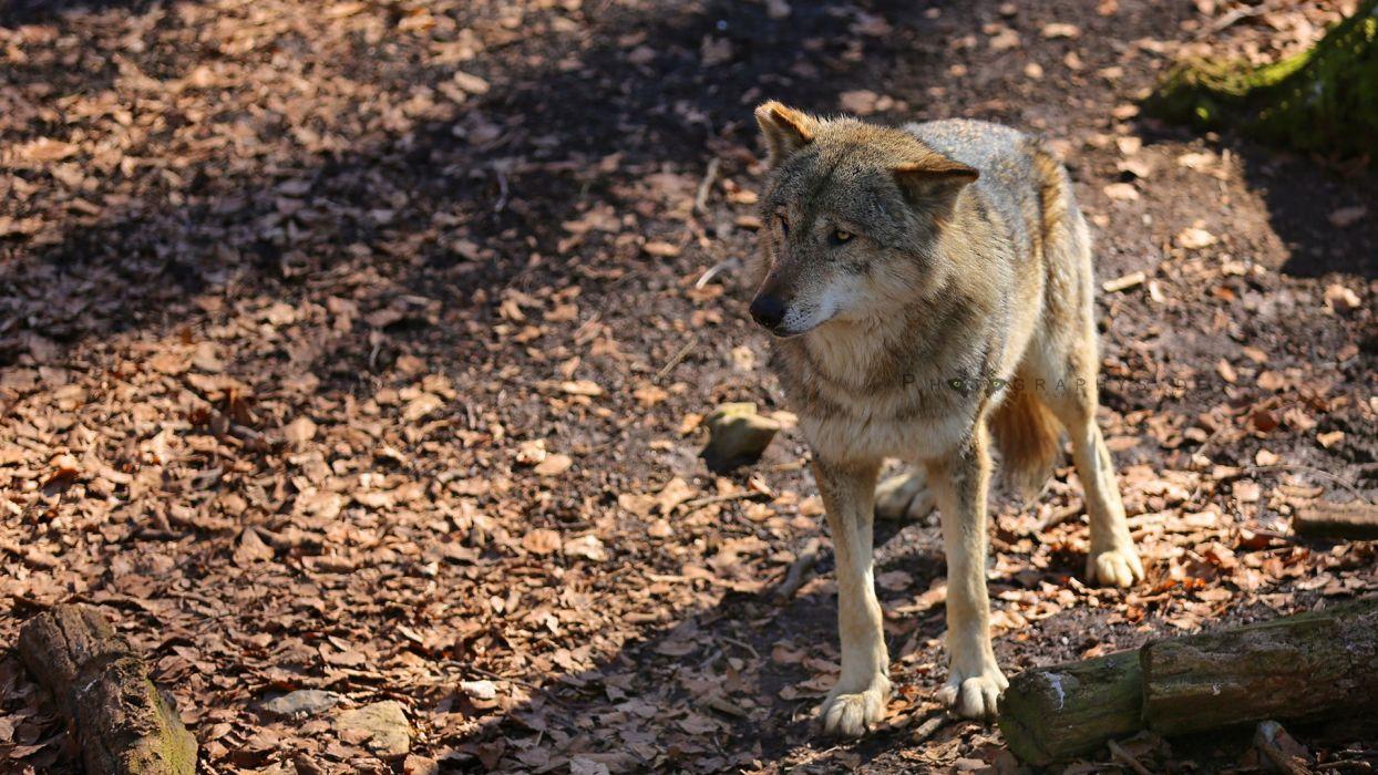 nature animals wildlife wolves wallpaper