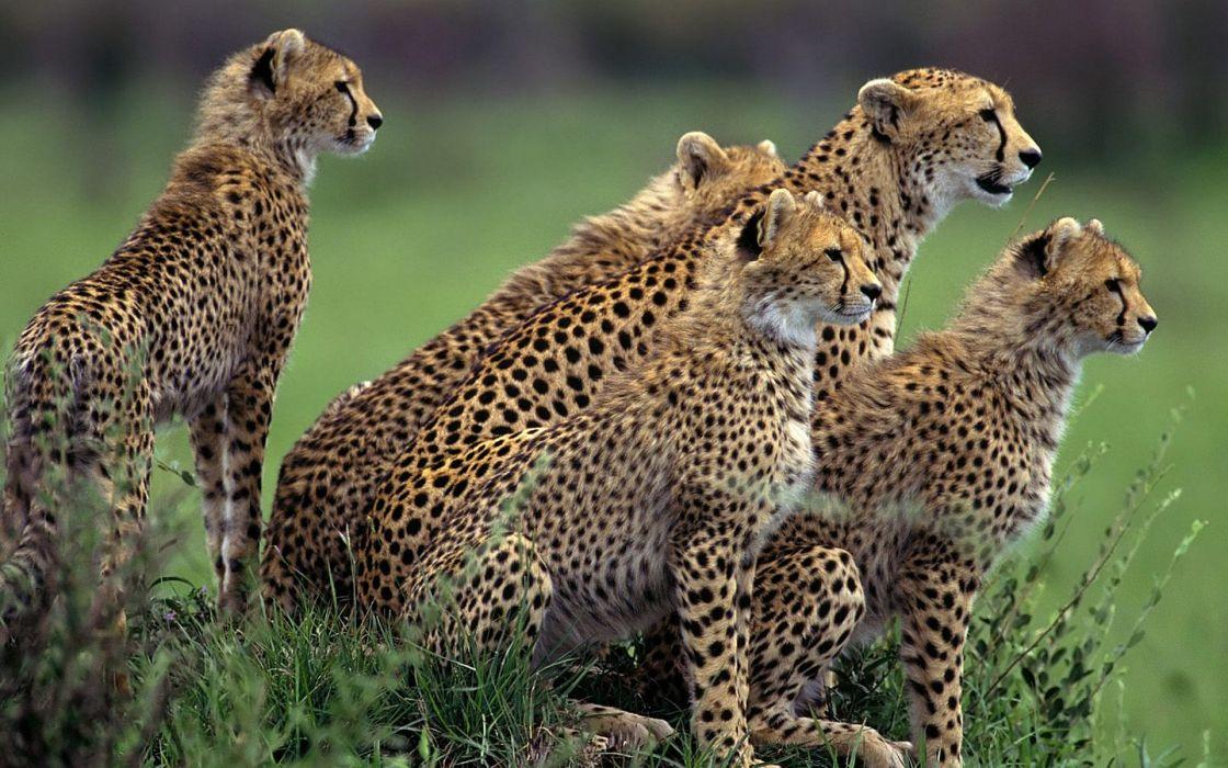animals cheetahs wild cats wallpaper