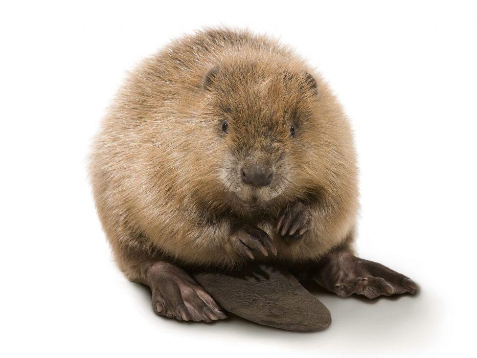 animals beavers simple background wallpaper