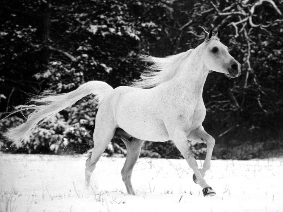 winter snow white animals horses wallpaper