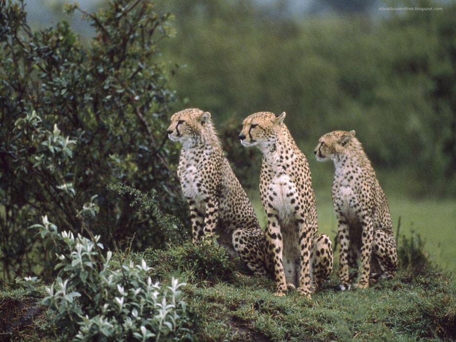 animals cheetahs feline wallpaper