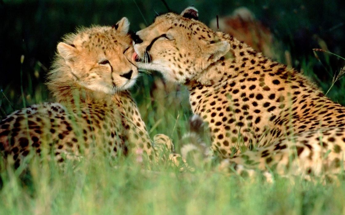animals grass cheetahs affection Kenya baby animals wallpaper