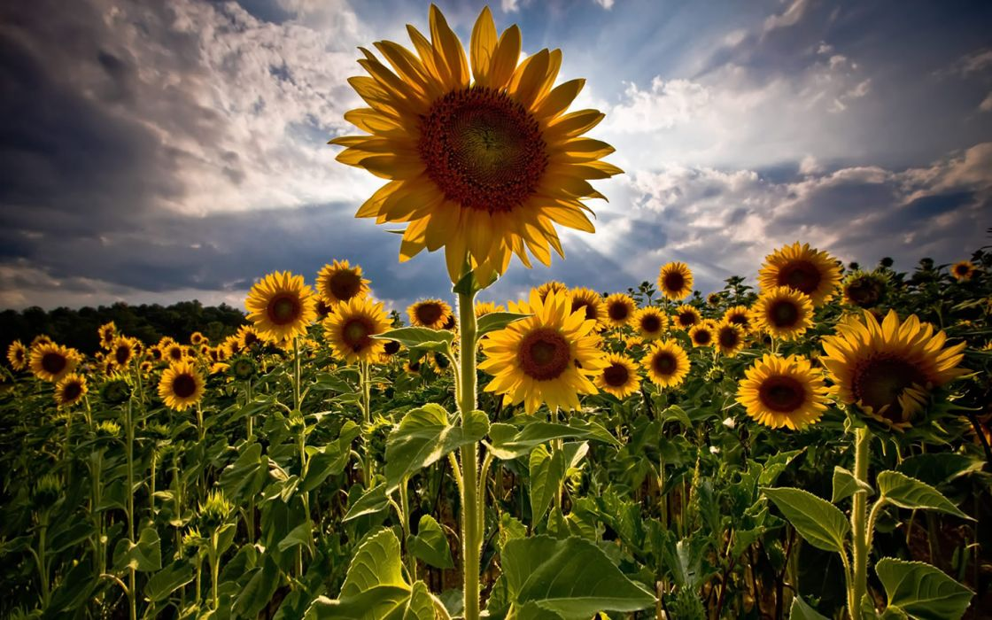 flowers fields skyscapes sunflowers wallpaper