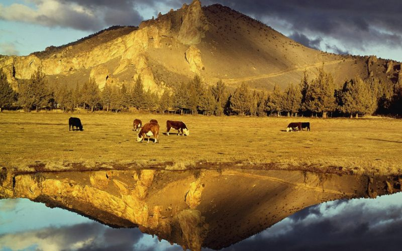 mountains cows plains wallpaper