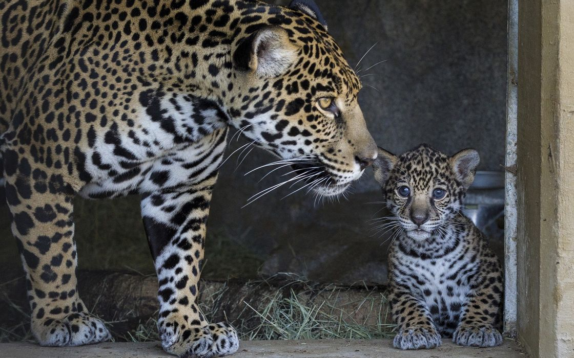 animals jaguars baby animals wallpaper