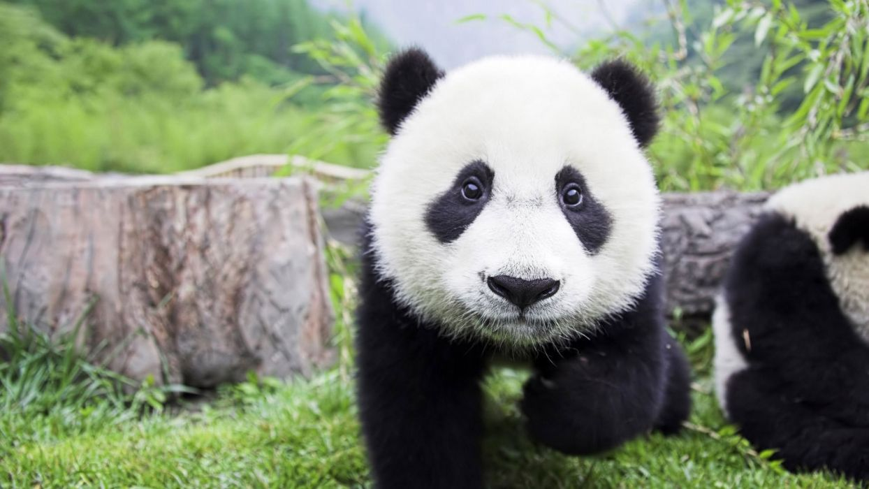 animals panda bears fluffy backgrounds mammals wallpaper