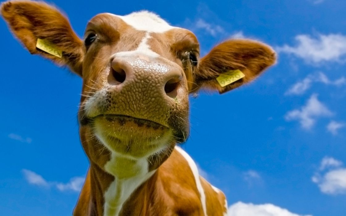 cows wallpaper