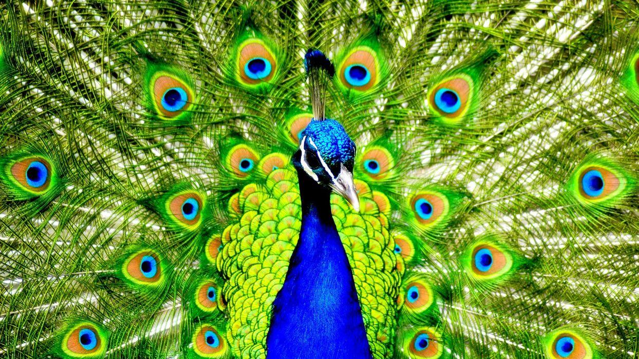 birds peacocks wallpaper
