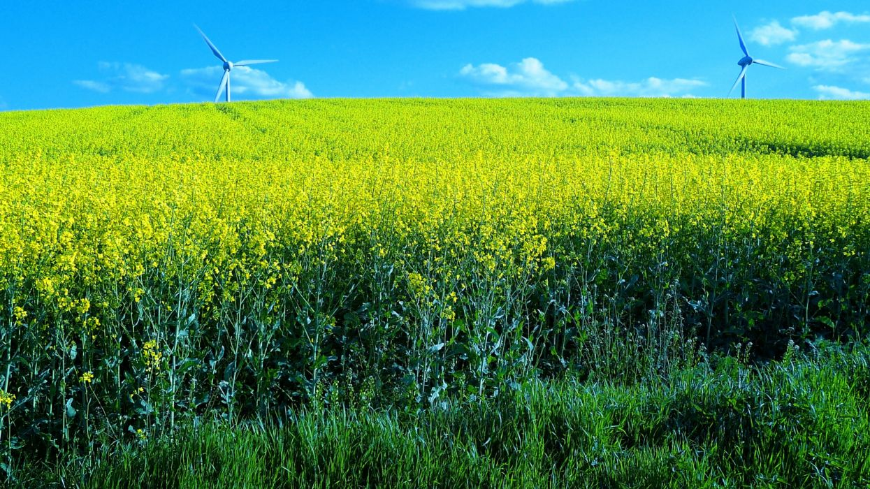 field flowers windmills landscape wallpaper