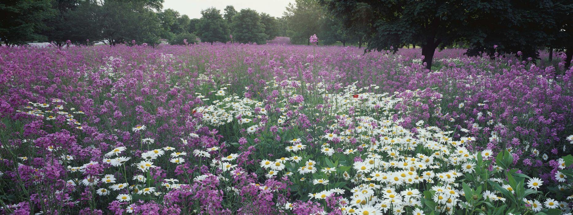 flowers meadows daisy wallpaper