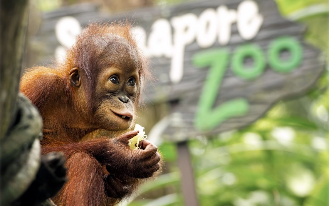 animals baby animals orangutans wallpaper