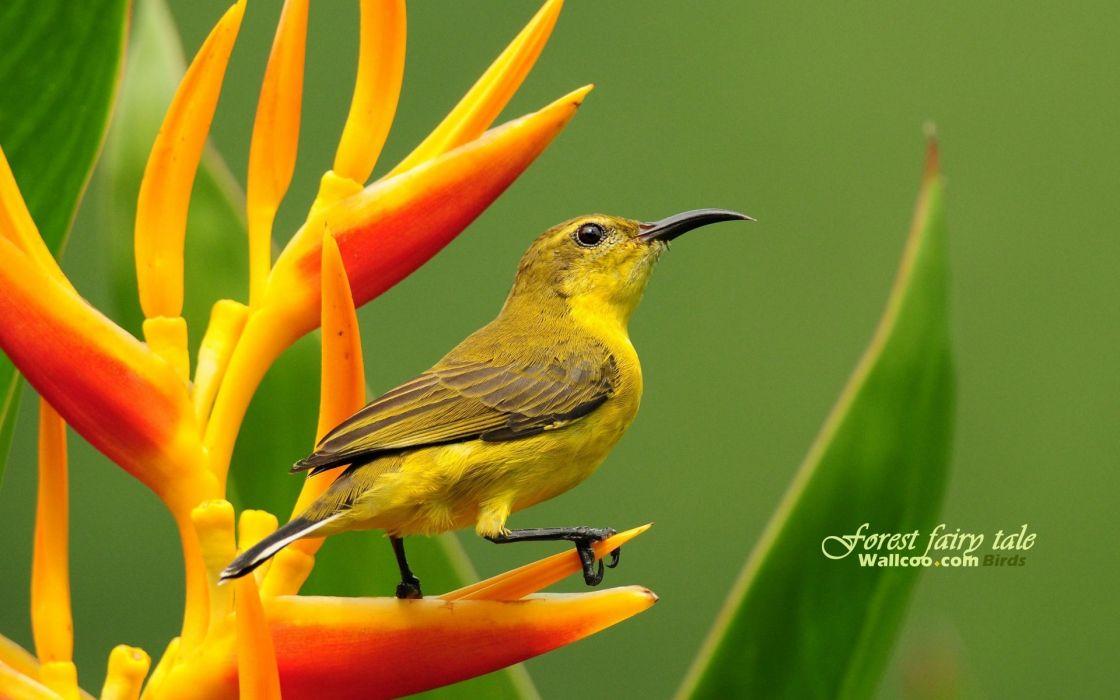birds animals wildlife Sunbirds wallpaper