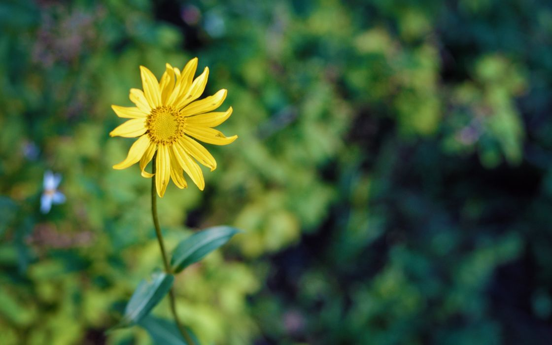 nature flowers macro yellow flowers wallpaper