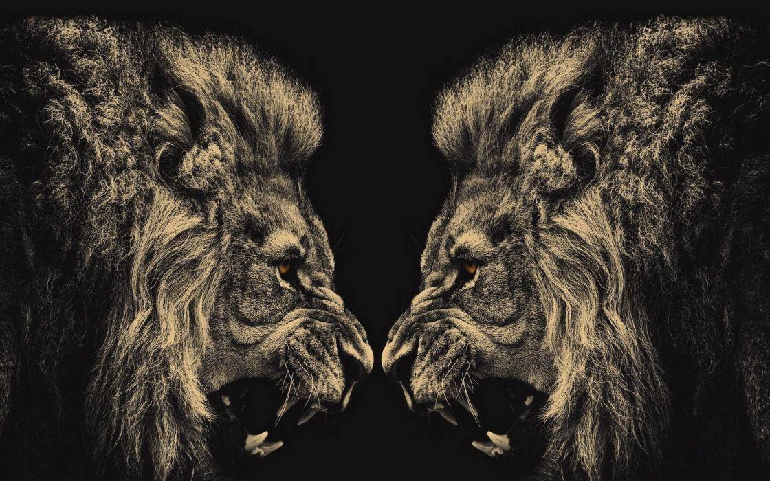 animals lions conflict wallpaper