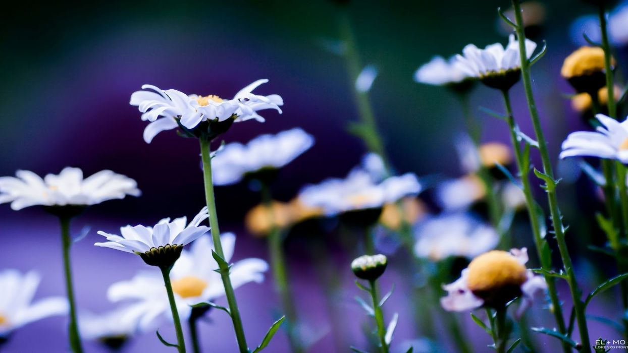 flowers chamomile white flowers daisies wallpaper