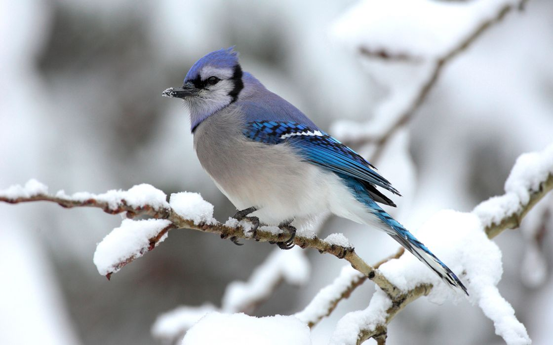 nature winter snow trees Blue Jay wallpaper