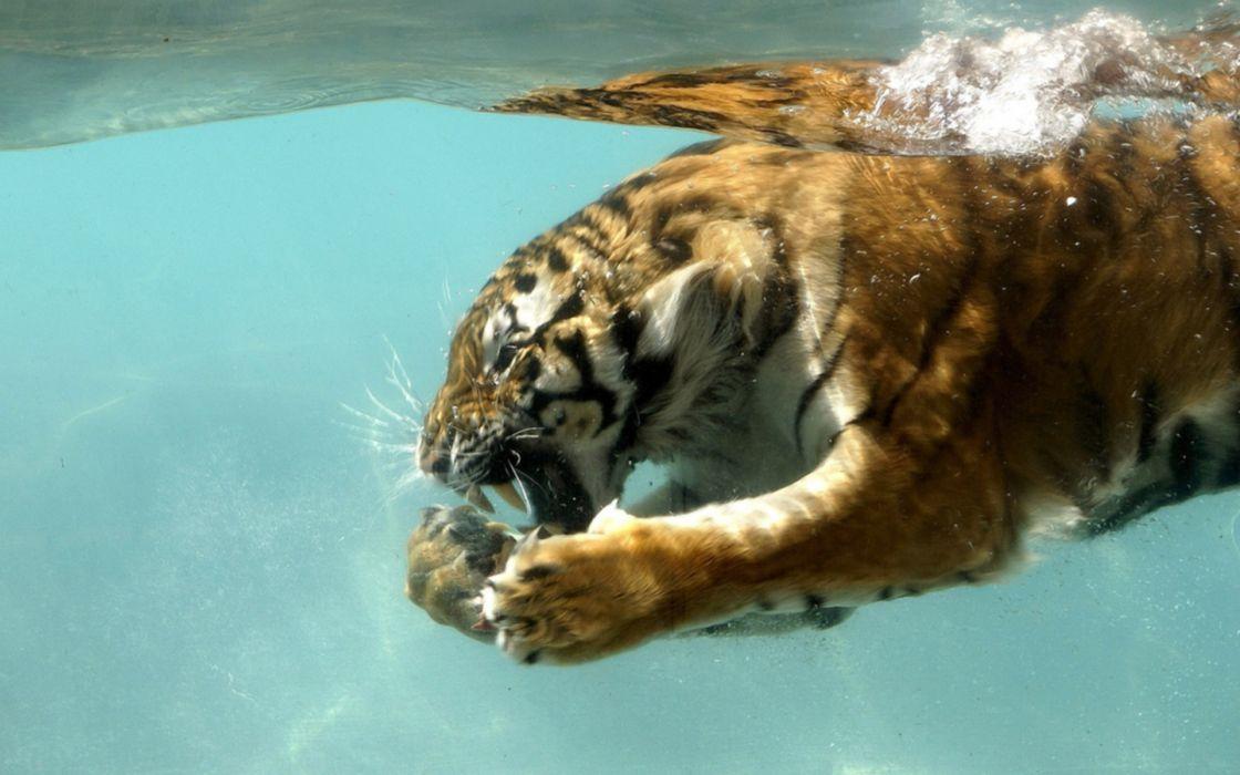water nature animals tigers wet wallpaper