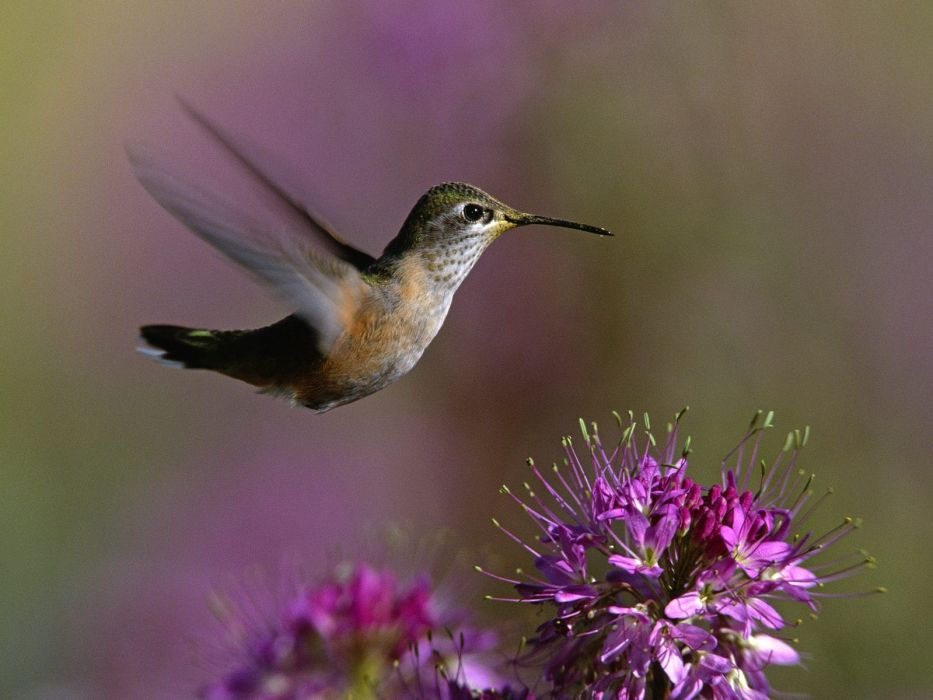 birds hummingbirds purple flowers wallpaper