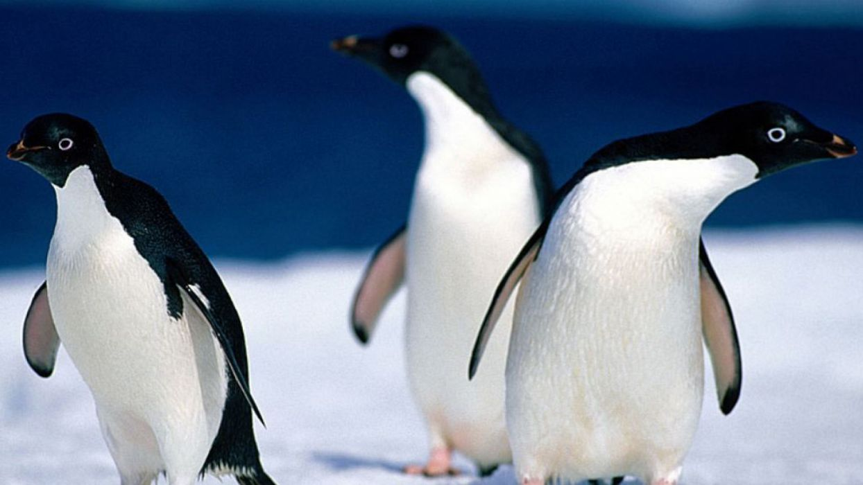 landscapes nature birds animals penguins wallpaper