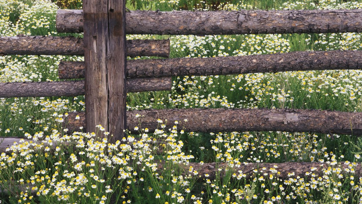 landscapes flowers forests national Colorado chamomile wallpaper