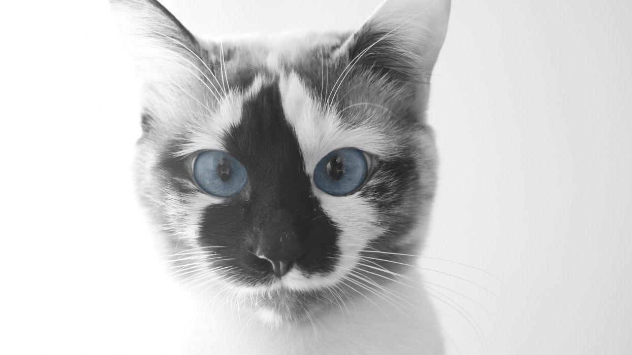 nature cats blue eyes animals wallpaper