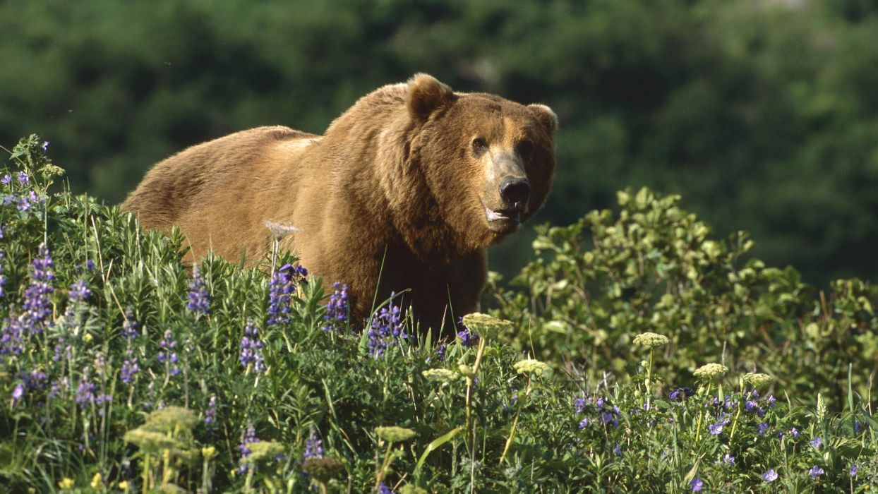 Alaska grizzly bears National Park wallpaper