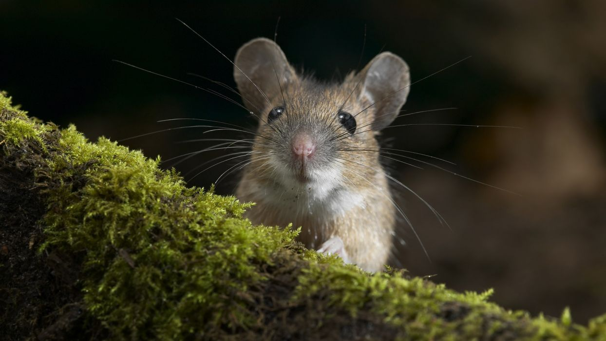 animals outdoors black eyes moss depth of field mice wallpaper