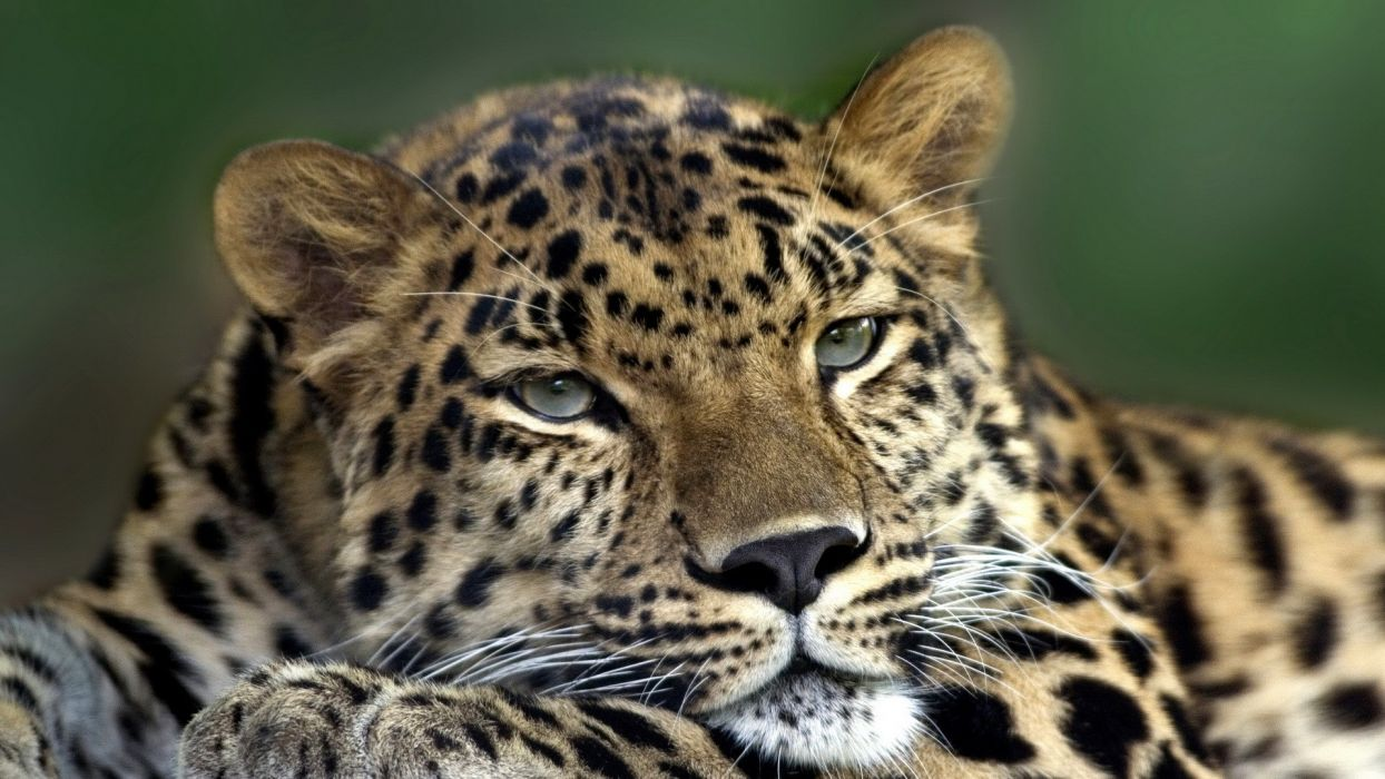animals leopards Amur Leopard wallpaper