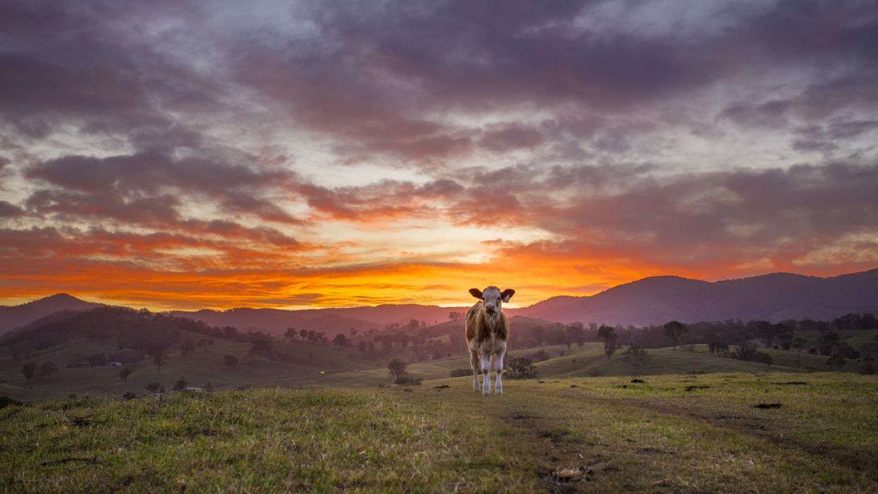 Cow Sunset   f wallpaper
