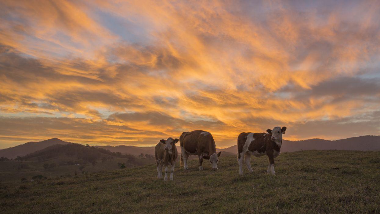 Cow Sunset wallpaper