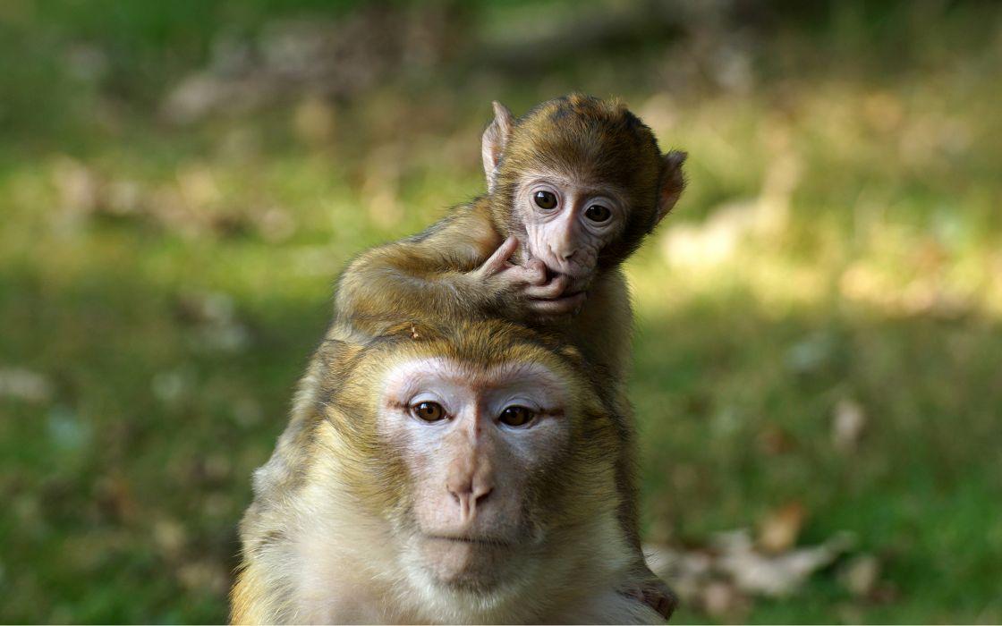 Monkey Baby  g wallpaper