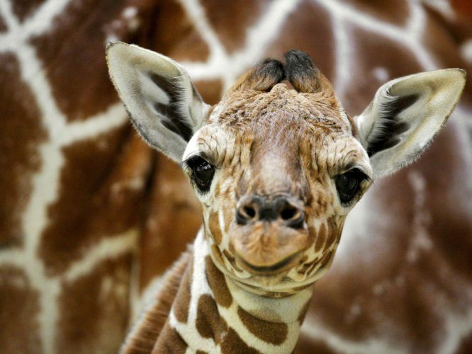 baby giraffe wallpaper