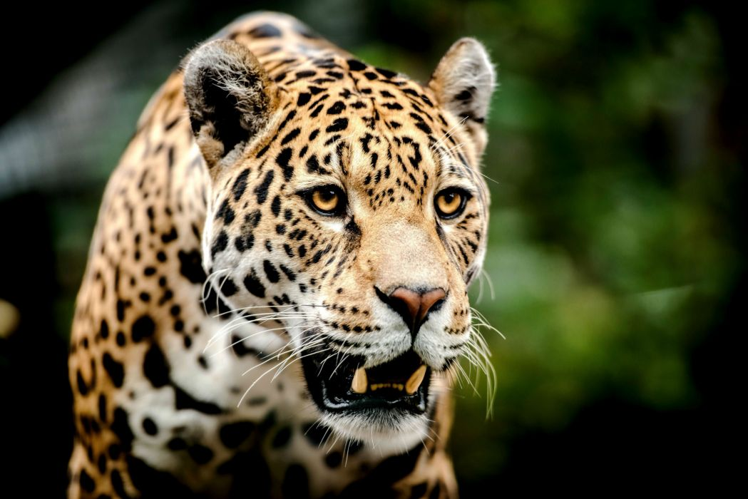 Big cats Jaguars Glance Snout Animal r wallpaper
