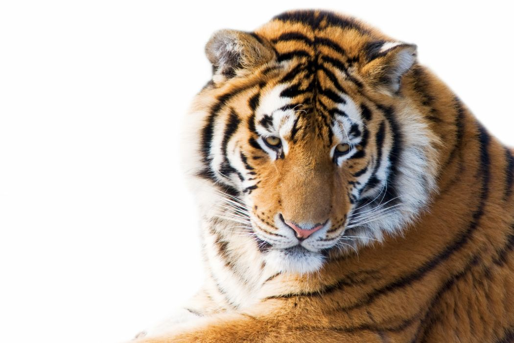 Big cats Tiger wallpaper