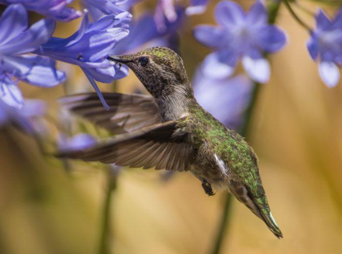 bird agapandus flowers blue hummingbird wallpaper