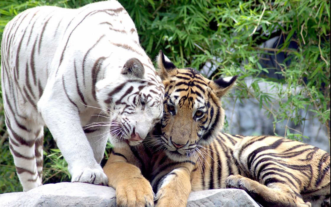cat couple white tiger tigers wallpaper