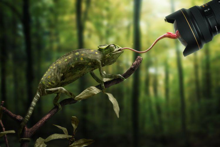 chameleon language lens branch camera d wallpaper