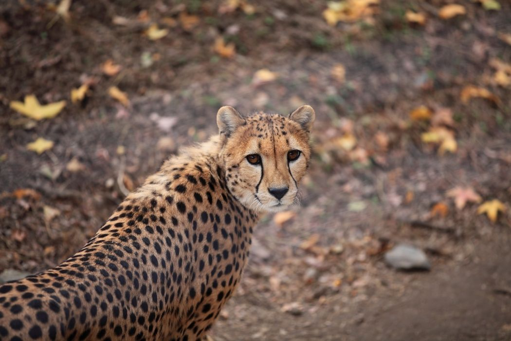 cheetah wild cat muzzle wallpaper