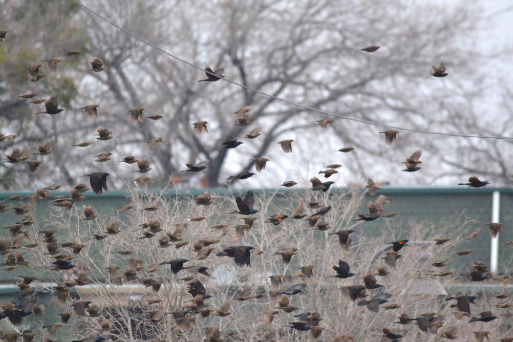 Flock of Birds sky bokeh (7) wallpaper