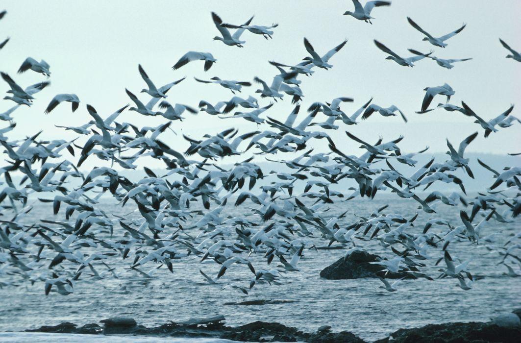 Flock of Birds sky bokeh (26) wallpaper
