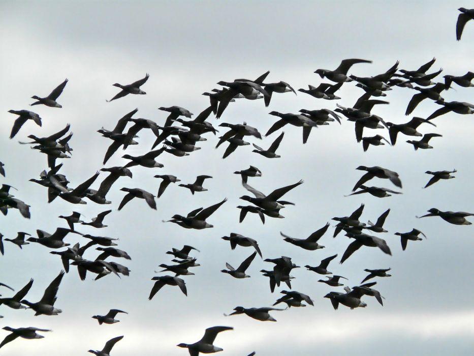 Flock of Birds sky bokeh (32) wallpaper