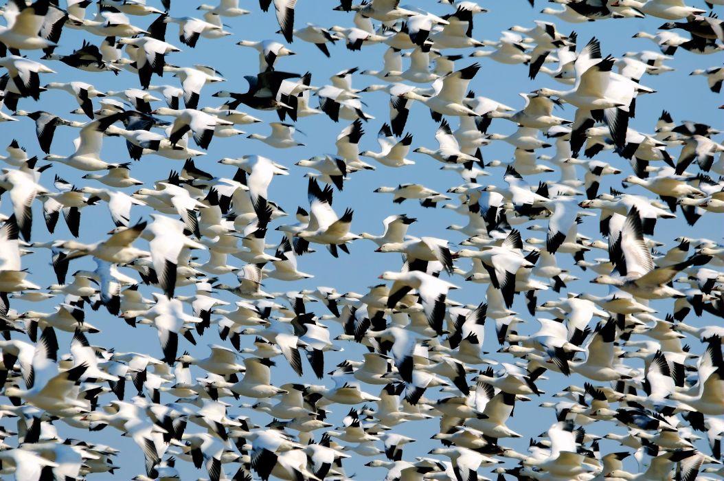 Flock of Birds sky bokeh (33) wallpaper