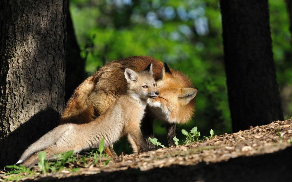 Fox Baby wallpaper